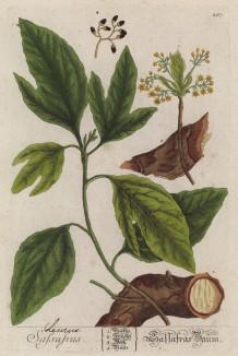 """Лавр благородный (Laurus nobilis (лат.)) — субтропическое дерево, или кустарник семейства лавровые (лист 267 """"Гербария"""" Элизабет Блеквелл, изданного в Нюрнберге в 1757 году)"""