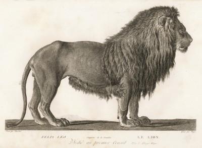 Лев (лист из La ménagerie du muséum national d'histoire naturelle ou description et histoire des animaux... -- знаменитой в эпоху Наполеона работы по натуральной истории)