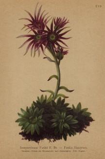 Молодило Функа (Sempervivum Funkii. (лат.)) (из Atlas der Alpenflora. Дрезден. 1897 год. Том III. Лист 210)