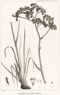 Анигозантос, или кенгуровая лапка, Anigozanthos (лат.). Название (от греческого anises - неровный и anthos- цветок) указывает на способность кончиков цветка делиться на шесть неравных частей. Париж, 1800