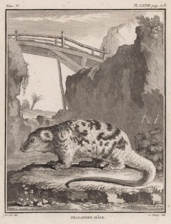 """Фалангер под мостом (лист LXVIII иллюстраций к пятому тому знаменитой """"Естественной истории"""" графа де Бюффона, изданному в Париже в 1755 году)"""