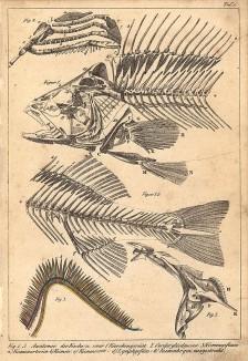 Анатомия рыбы: 1.скелет; 2.передняя конечность; 3.жаберные сосуды: a)жаберная артерия b)жабры c)жаберная вена d)лимфатич. сосуд; 4.жаберная дуга. Die Fische dargestellt in getreuen Abbildungen und mit ausführlicher Beschreibung, л.1. Лейпциг, 1840