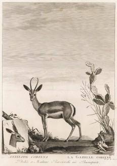 Антилопа (лист из La ménagerie du muséum national d'histoire naturelle ou description et histoire des animaux... -- знаменитой в эпоху Наполеона работы по натуральной истории)