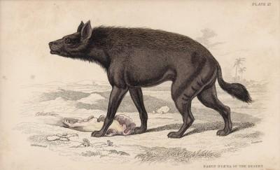 """Страшная гиена из пустынь Нубии (Hyena vulgaris (лат.)) (лист 27 тома V """"Библиотеки натуралиста"""" Вильяма Жардина, изданного в Эдинбурге в 1840 году)"""