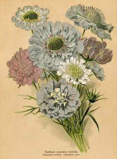 Скабиоза кавказская гибридная (Scabiosa caucasica hybrida). Многолетники наиболее красивые и пригодные для садовой культуры. Санкт-Петербург, 1913