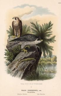 """Сапсаны перед охотой. Сапсан - самая быстрая птица (и животное вообще) в мире - в нападении она способна развить скорость свыше 322 км/ч (90 м/с). л.XXV работы Оскара фон Ризенталя """"Хищные птицы Германии"""", Кассель, 1894"""