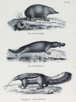 Ехидна, утконос и муравьед (лист 31 первого тома работы профессора Шинца Naturgeschichte und Abbildungen der Menschen und Säugethiere..., вышедшей в Цюрихе в 1840 году)
