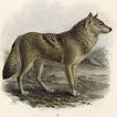 Волки и волчицы