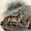 Лисы и лисицы