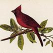 Дубоносы и кардиналы