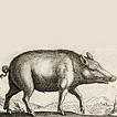 Свиньи дикие и домашние