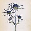 Йозеф К. Вебер. Растения Альп Том II. 1872 год