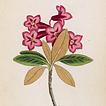 Йозеф К. Вебер. Растения Альп Том III. 1872 год