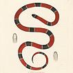 Змеи принца фон Вид-Нойвида