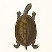 Черепахи принца фон Вид-Нойвида