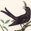 Котинга и зонтичная птица