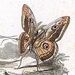 Les Papillons par Amédée Varin
