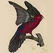 Попугаи от Луи Вийо