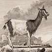 Козлы и козы графа де Бюффона