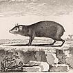 Морские свинки и агути