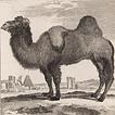 Верблюды графа де Бюффона