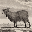 Бараны и овцы графа де Бюффона