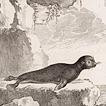 Тюлени графа де Бюффона
