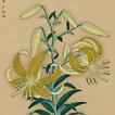 24 китайских лилии
