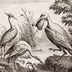 Птицы графа Марсильи