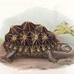 Черепахи Леопольда Фитцингера