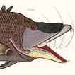 Марк Кейтсби. Животные Вест-Индии