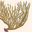 Кораллы Марка Кейтсби