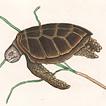 Черепахи Марка Кейтсби