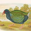 Г.Бройновски. Птицы Австралии