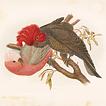 Попугаи Австралии. Г.Бройновски