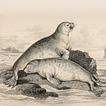 Моржи и тюлени