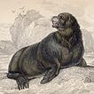Тюлени и моржи