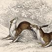 Вильям Жардин. Млекопитающие. Том VII. 1838 год