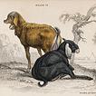 Вильям Жардин. Млекопитающие. Том X. 1843 год