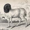 Бараны и овцы Вильяма Жардина
