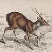 Вильям Жардин. Млекопитающие. Том XI. 1843 год