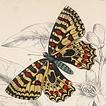 Лучшие бабочки Вильяма Жардина