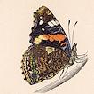 Бабочки Британии Френсиса Морриса