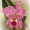 Lindenia. Орхидеи братьев Линден