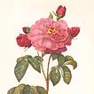 Les Roses par P.-J. Redouté