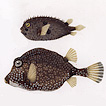 Рыбы Шарля д'Орбиньи