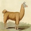 Альпаки, ламы и вигони